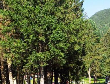 Vegetatie Poiana Brasov